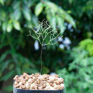 【送料無料】 ドリミア・イントリカータ 直立花茎  Drimia intricata IB11340 × IB11350 【3号鉢】多肉植物 観葉植物|erioquest