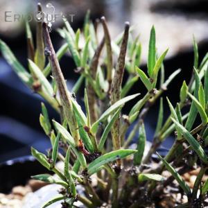 【送料無料】 セロペギア コンラティ Ceropegia conrathii  ES12990  【3号鉢】多肉植物 観葉植物 サボテン 珍しい erioquest