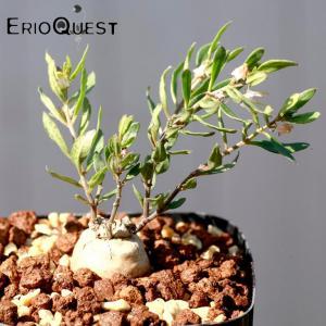 ブラキステルマ・ナヌム ES10526 (南アフリカケープバルブ(国内実生、多肉、珍奇植物、珍奇、レア、塊根塊茎、コーデックス、サボテン、南アフリカ) erioquest