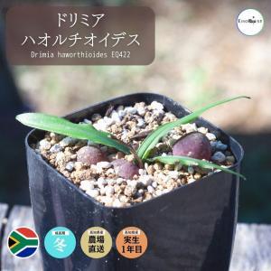 【送料無料】 ドリミア ハオルチオイデス  Drimia haworthioides 【3号鉢】多肉植物 観葉植物  サボテン 珍しい おしゃれ  苗|erioquest