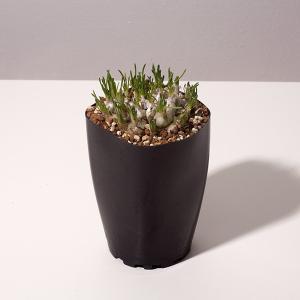 【送料無料】オーニソガラム sp. KangoRiver 【3号鉢】多肉植物 観葉植物 珍しい インテリア かわいい ギフト 植物|erioquest
