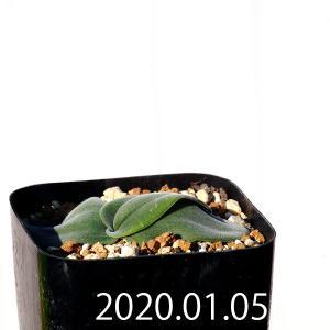 【送料無料】ドリミア sp. cf. プラティフィラ Lemoen poort【観葉植物】多肉植物  珍しい かわいい インテリア ギフト|erioquest