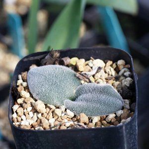 ドリミア プラティフィラ 毛羽玉 Drimia platyphylla Near monatgue EQ395 erioquest