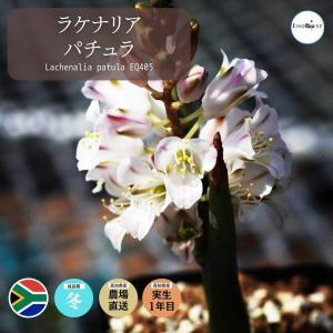【送料無料】ラケナリア パチュラ Lachenalia patula S. of Vanrhynsdorp 【3号鉢】多肉植物 観葉植物  サボテン|erioquest