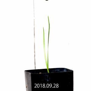 【送料無料】 モラエア セルペンティーナ Moraea serpentina 【3号鉢】多肉植物 観葉植物  サボテン 珍しい おしゃれ  ギフト|erioquest