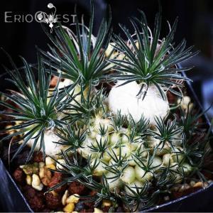 【3号鉢】オーニソガラム・サルディエニー・オーツホーン ( Ornithogalum sardieni ) コーッデクス 球根 苗 多肉植物 観葉植物|erioquest