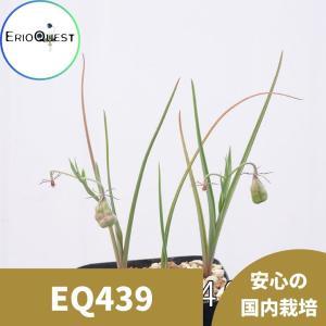 【送料無料】オーニソグロッサム・ヴィリデ Ornithoglossum viride 【3号鉢】多肉植物 観葉植物 珍しい インテリア かわいい ギフ|erioquest