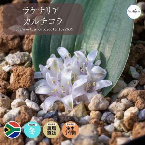 【送料無料】ラケナリア カルチコラ Lachenalia calcicola IB22635 Seedling 【3号鉢】多肉植物 観葉植物 珍奇|erioquest