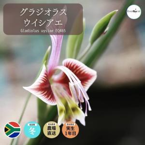 グラジオラス ウイシアエ Gladiolus uysiae EQ465 erioquest