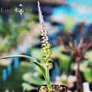【送料無料】 ラケナリア ムタビリス Lachenalia mutabilis EQ467 【3号鉢】多肉植物 観葉植物  サボテン 珍しい おしゃれ|erioquest