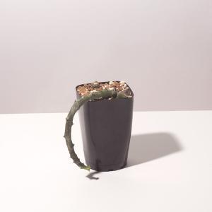 【送料無料】 セロペギア スタペリフォルミス  Ceropegia stapeliformis【3号鉢】ガガイモ 多肉植物 観葉植物 サボテン 珍しい erioquest