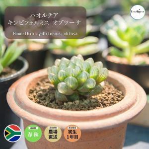 【送料無料】 ハオルチア キンビフォルミス オブツーサ  Haworthia cymbiformis 【3号鉢】多肉植物 観葉植物 サボテン 珍しい|erioquest