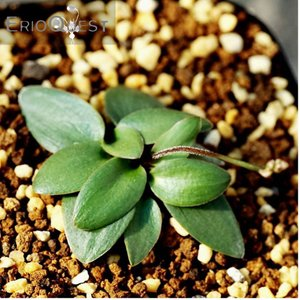 【送料無料】エリオスペルマム ポルフィロウァルウェ Eriospermum porphyrovalve 【3号鉢】多肉植物 観葉植物 サボテン 珍しい|erioquest