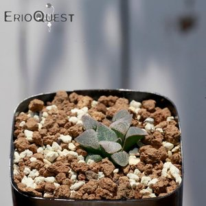 【送料無料】ハオルチア ピグマエア  Haworthia pygmaea 【3号鉢】観葉植物 多肉植物  珍しい かわいい インテリア ギフト 珍しい|erioquest