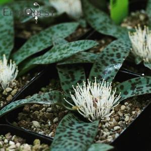 【送料無料】ラケナリア・プシラ Lachenalia pusilla 【3号鉢】観葉植物 多肉植物  珍しい かわいい インテリア ギフト 珍しい|erioquest