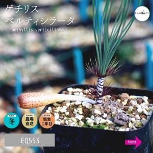 ゲチリス・ベルティシラータ (Gethyllis verticillata EQ554) 苗 多肉植物 観葉植物 インテリア 育て やすい erioquest