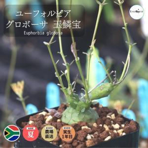 ユーフォルビア グロボーサ 玉鱗宝 Euphorbia globosa|erioquest