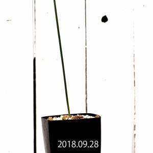 【送料無料】アルブカ・ゼブリナ Albuca zebrina 【3号鉢】実生 苗 子株 多肉植物 観葉植物  植物 ギフト インテリア 珍奇植物|erioquest