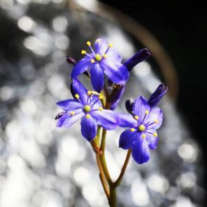 【送料無料】カマイスキラ スピラリス Chamaeschilla spiralis 【3号鉢】多肉植物 観葉植物 珍しい インテリア かわいい ギフト|erioquest