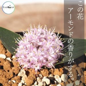 【送料無料】 ラケナリア・ピグマエア Lachenalia pygmaea EQ606 【3号鉢】多肉植物 観葉植物  サボテン 珍しい おしゃれ 苗|erioquest