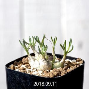 【送料無料】オーニソガラム・リトプソイデス  Ornithogalum lithopsoides EQ612 【3号鉢】南アフリカ珍奇植物 実生 苗 |erioquest