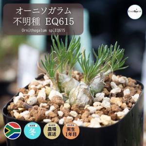 【送料無料】オーニソガラム Ornithogalum sp.EQ615 【3号鉢】多肉植物 観葉植物 珍しい インテリア かわいい ギフト 植物|erioquest