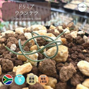 【送料無料】 ドリミア ウランテラ Drimia uranthera 【3号鉢】多肉植物 観葉植物  サボテン 珍しい おしゃれ  ギフト 球根|erioquest