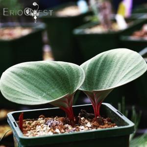 【送料無料】エリオスペルマム・カペンセ  Eriospermum capense 【3号鉢】多肉植物 観葉植物 珍しい インテリア かわいい ギフト|erioquest
