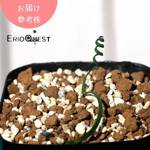 【3号鉢】ゲチリス・リネアリス (Gethyllis linearis GS2098)実生 珍奇植物 南アフリカ 多肉植物 erioquest