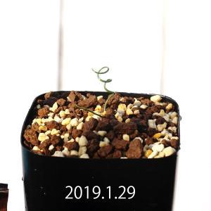 【送料無料】 ゲチリス ラヌギノーサ Gethyllis lanuginosa GS3103 【3号鉢】観葉植物 多肉植物  かわいい インテリア erioquest
