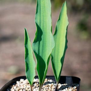 【送料無料】 エリオスペルマム ランケイフォリウム EQ722 【3号鉢】 多肉植物 観葉植物 サボテン 珍しい おしゃれ ギフト インテリア かわい|erioquest