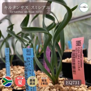 【送料無料】 キルタンサス スミシアエ EQ731 【3号鉢】多肉植物 観葉植物 サボテン 珍しい おしゃれ ギフト インテリア かわいい|erioquest