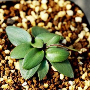 エリオスペルマム ポルフィロウァルウェ EQ732 Eriospermum porphyrovalve 種類 販売 育て方 珍奇植物|erioquest