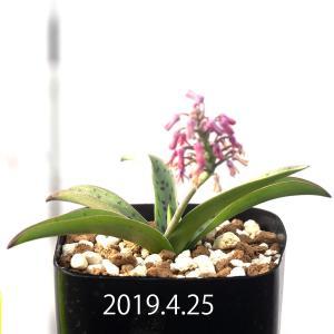 レデボウリア 不明種 Ledebouria sp. aff. saundersonii EQ760|erioquest