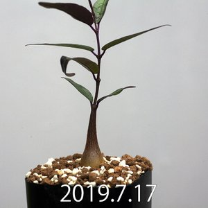 ペトペンチア ナタレンシス Petopentia natalensis EQ767|erioquest