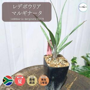 レデボウリア マルギナータ Ledebouria marginata EQ778|erioquest
