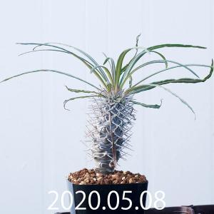 パキポディウム ゲアイー 亜阿相界 アアソウカイ Pachypodium geayi EQ789|erioquest