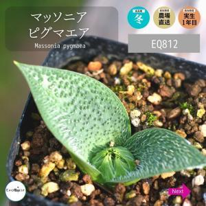 マッソニア ピグマエア Massonia pygmaea EQ812 erioquest