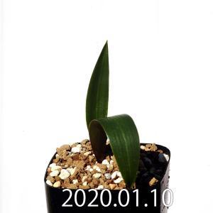 ダウベニア アルバ Daubenya alba EQ822 マッソニア massonia 珍奇植物 南アフリカ 球根 erioquest