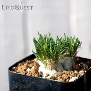 【送料無料】オーニソガラム 不明種 Ornithogalum sp 【3号鉢】多肉植物 観葉植物 珍しい インテリア かわいい ギフト 植物|erioquest