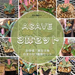 【セット販売】アガベ3鉢セット(Agave)多肉植物 セット 寄せ植え 観葉植物 インテリア 南アフリカ リュウゼツラン 錦|erioquest