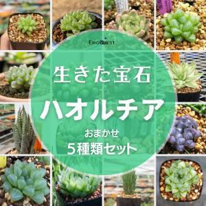 【セット販売】ハオルチア5種類セット(トランシエンス オブツーサ 暗黒竜 青玉簾 トルツオサ)Haworthia 寄せ植え お得|erioquest