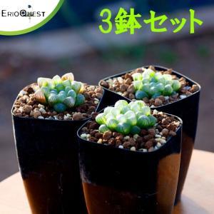 【セット販売】ハオルチア・オブツーサ3鉢セット(Haworthia cymbiformis var. obtusa)寄せ植え セット|erioquest