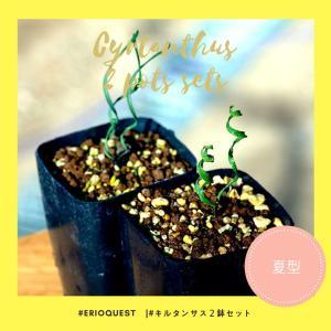 【セット販売】キルタンサス2種類セット(スピラリス spiralis)(ヘリクタス helictus)寄せ植え お得|erioquest