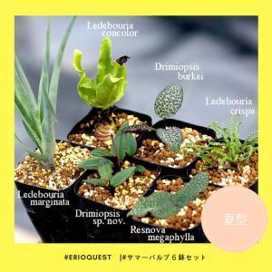 【セット販売】夏型球根6鉢セット(レスノヴァ、レデボウリア、ドリミオプシス)ケープバルブ 球根 夏|erioquest