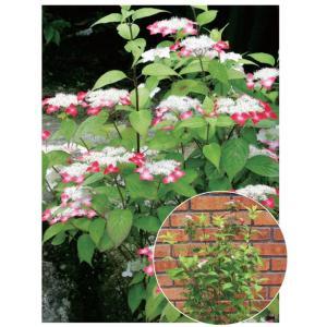 ヤマアジサイ系の園芸品種。紅色の花弁が名前の由来となっています。