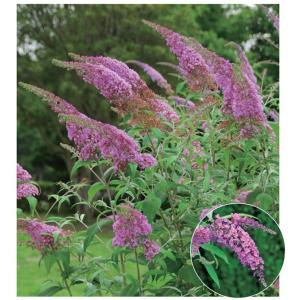 ブッドレア(フジウツギ)紫色花 香りよし 植木 庭木 苗木 落葉低木|estoah