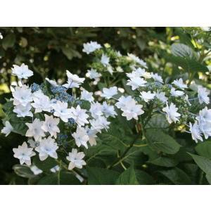 ガクアジサイ系の園芸品種で、八重咲きの花が花火のように咲きます。 秋にも咲く四季咲性。