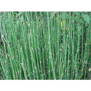 トクサ(砥草 木賊)(大株)3株セット スクリーン植栽 植木 庭木 花壇 常緑|estoah