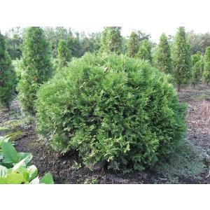 ニオイヒバ・グリーングローブ 球形 列植 コニファー 植木 庭木 苗木